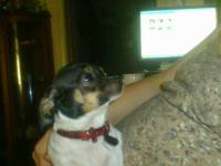 I have a female Chihuahua for sale, Her name is Sissy,