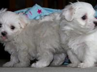 We have cute maltese puppies for sale . Text or