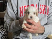 We have 3 male Cavachon Puppies. Just taking deposits