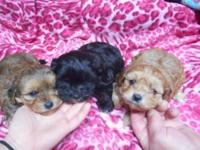 We have 3 Yorkie Poos. We have 1 girl and 2 boys. A