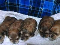 We have 5 Borkie puppies. We have 3 girls and two boys.