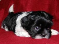 We have two cute and fluffy,black and white male Shih