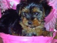 andy is a wonderful toy male yorkie. he is very healthy