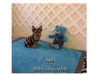 Two Male Yorkie 10 wks old $650 Sweet , furry and funny