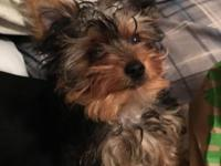 Adorable make Yorkie for sale, going on 12 weeks as of