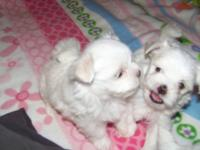 Cute Maltese males for sale $600 each registered. 8