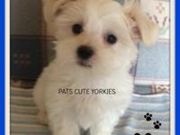DUKE is a very active maltese male. He was born Feb