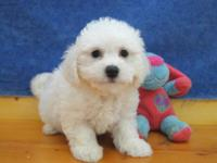 THESE ADORABLE BICHON FRISE PUPPIES ARE READY FOR