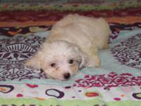 We have charming Maltese puppies readily available.