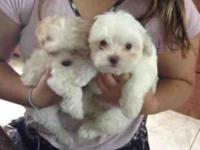 I have 2 maltese puppies avalible for sale. One kid and