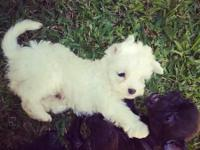 Hello I have a female Maltese puppy She's up to date
