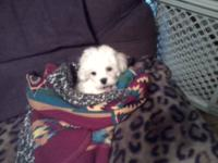 Cute full blooded Maltese puppy available Loves kids
