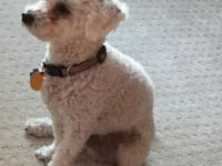 Active, playful Maltese poodle that makes the life fun