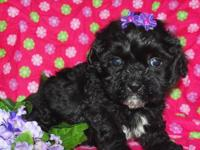 I have two absolutely gorgeous Malti-Poo puppies. I