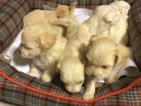 6 maltipoo young puppies are prepared for their new