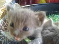 Breed-Manx Wormed I have 4 Manx kittens 8wks If