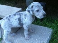 He is our last male and is a silver merle (light gray