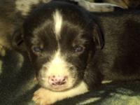 We have 2 mini aussie/corgi cross young puppies