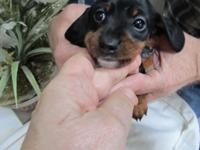 Cute little Mini Dachshund, BLK and Tan, with a white