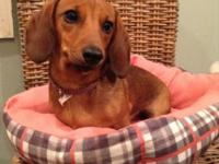 Hey there. I have one Miniature Dachshund puppy left.