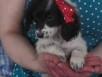 Adorable Poodle Mix Puppies!!! White and Black, male &