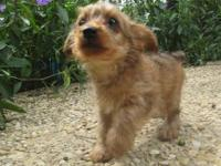Adorable Mini Tea-cup Yorkie-Poo female for sale! This