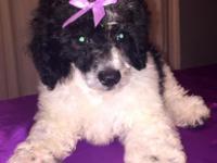 Hello, my black and white purebred female miniature