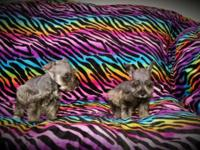 I have 2 females miniature Schnauzer puppies for sale,