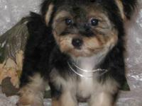 Cameron is a precious little male Morkie , he has a