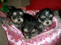 Blk/whtie/Tan Morkies 2 girls/4 Boys. These children