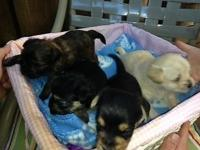 NOW taking deposits for these lovable puppies! They