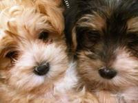 Two lovable male morkies that have had wellness check,