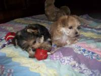 3 little male Morkies for adoption , They were born Aug