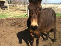 Henry is a 13.2hh mule with personality plus he does