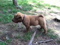 I have a beautiful male Shar Pei puppy who's 15 weeks