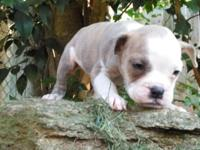 I have 2 pups left 1 blue brindle female,1 brindle