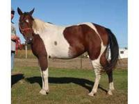 7 yr old bay tobiano paint mare. 14 hands. Very cute