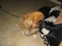 Two males. Born 6/6/14. Father is Pekingese Mother is