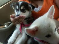 cute pair of Pomsky puppies male and female perfect