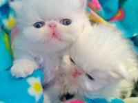 Attractive kitties available !! All white! 2 guys. CFA
