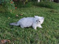 This Persian Chinchilla silver Female kittycat,