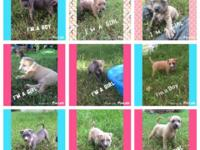 Cute 6-week old puppy pits. Have been dewormed and have