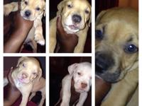 I have 9 pitbull puppies for sale males and females.