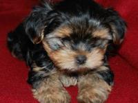 These are cute adorable Shorkie puppies they are 3/4