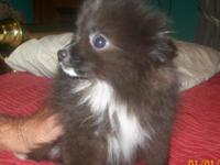 beautiful little black AKC registered little female