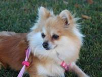 Evy is a 5 year female Pomeranian. She gets very close