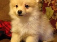 Rascal, a Adorable male Pomeranian. Very playful . 11