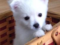 Two adorable pomeranian mixed puppies. They are very
