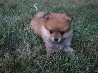 I have two beautiful female Pomeranians' available for