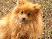 Hi i have Pomeranian puppies for sale $200.00 thy where